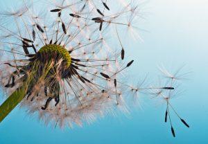 Gräserpollen Allergien