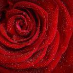 Keine Lust auf rote Rosen am Valentinstag?